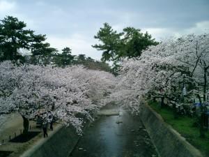夙川桜の写真