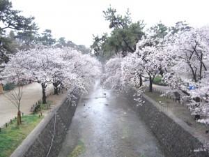 夙川の桜の写真