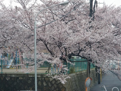 額田・石切の桜の画像