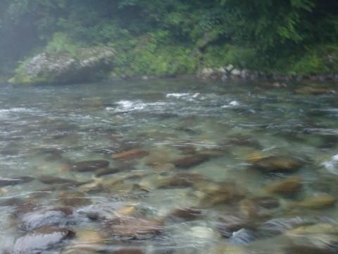 7月1日の鮎釣り