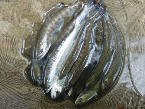 3月9日長良川アマゴ釣り1