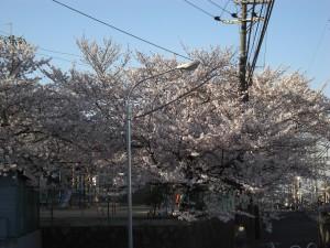 2011桜の写真