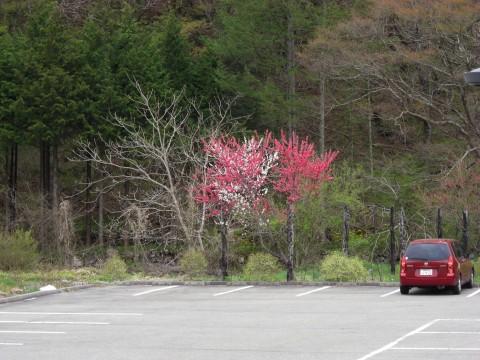 開田高原に咲くはなももの写真
